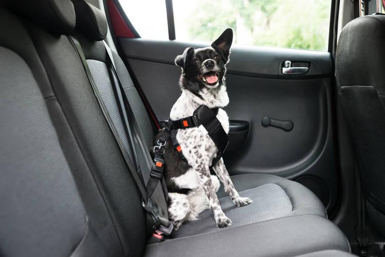 Hond in auto zonder gordel - mag dat