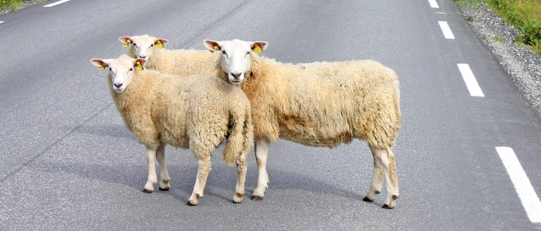 Photo of Moet je voorrang verlenen aan overstekende dieren?
